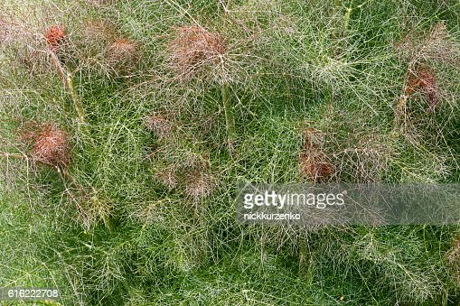 Smokey fennel : Stock Photo