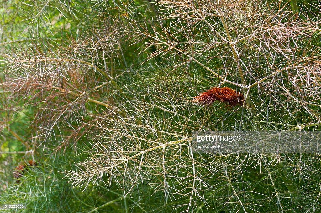 Smokey fennel : Stock Photo