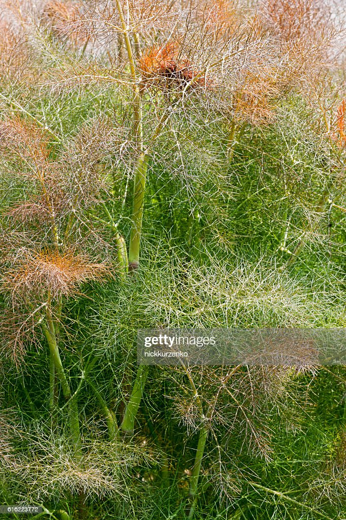 Smokey fennel : Foto stock