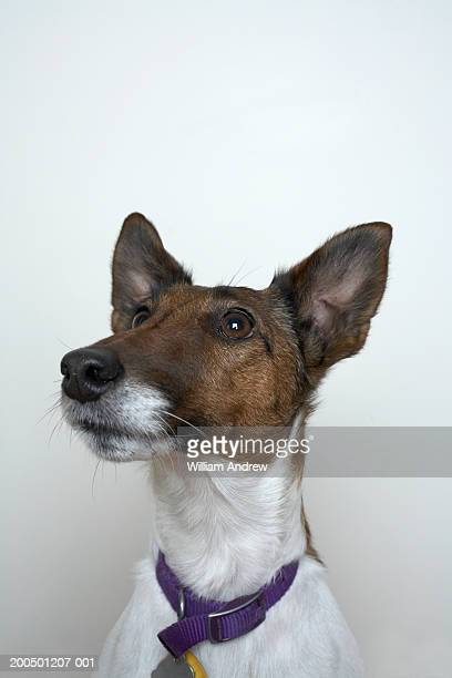 Smooth hair fox terrier looking up, close-up