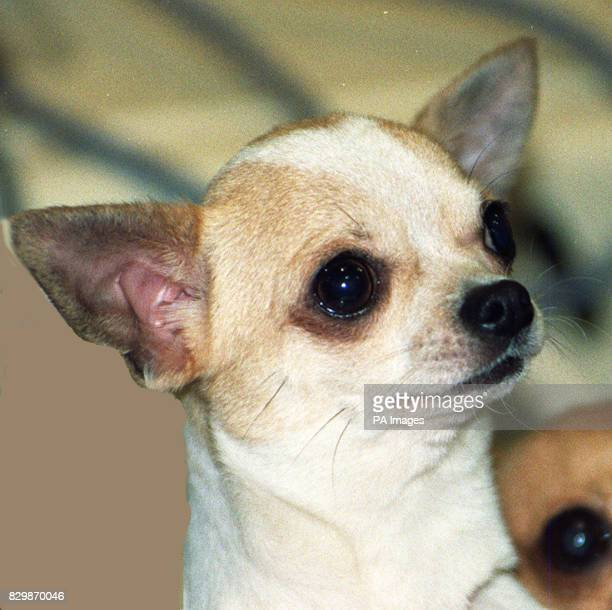 A chihuahua owner today accused another competitor in a regional dog show of giving her animal valium with her permission