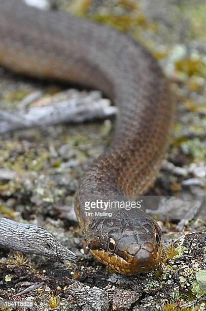 Smooth Snake (Coronella austriaca) Dorset
