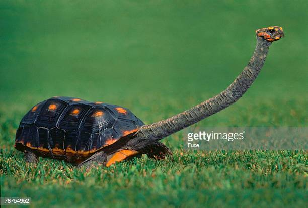 Smooth Snake-necked Turtle