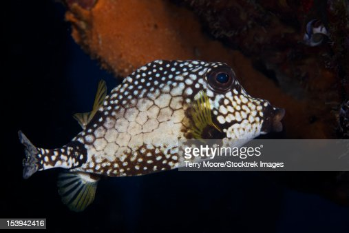 Smooth Trunkfish, Bonaire, Caribbean Netherlands.