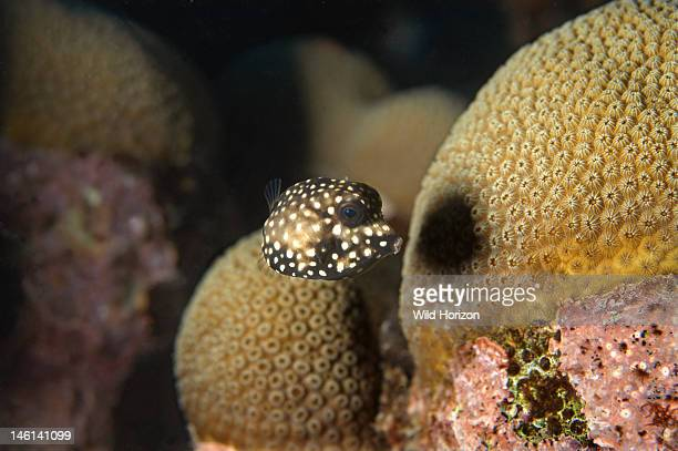 Smooth trunkfish juvenile Lactophrys triqueter Approximately one inch across body Curacao Netherlands Antilles Digital Photo
