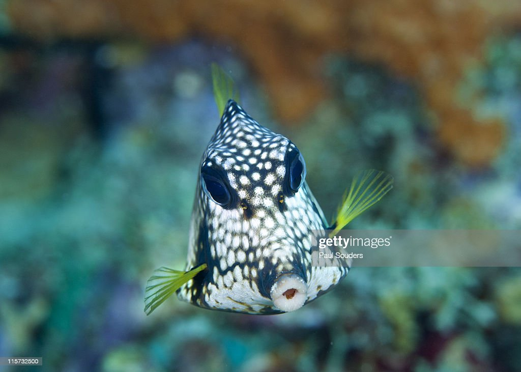 Smooth Trunkfish. : Stock Photo