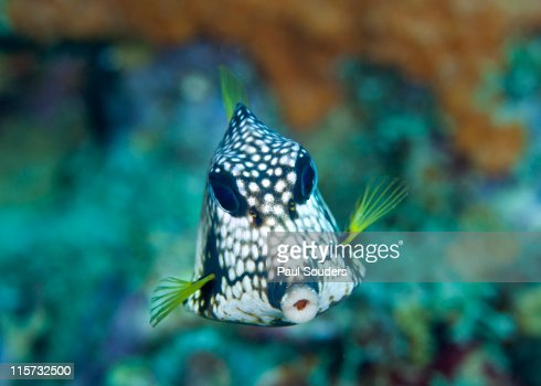 Smooth Trunkfish. : Stock Photo