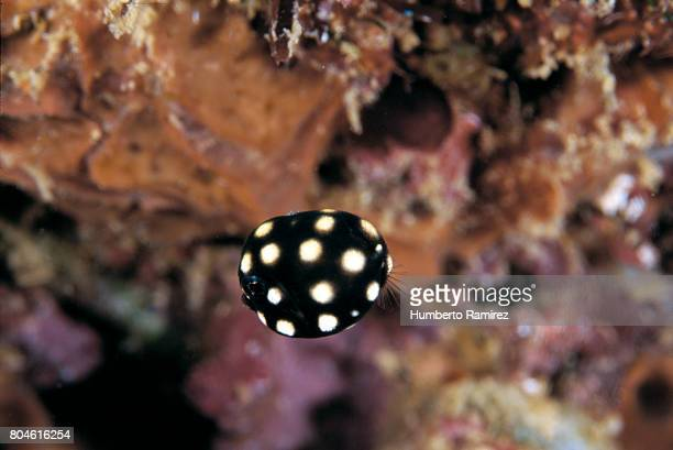 Smooth Trunkfish(Juvenile).