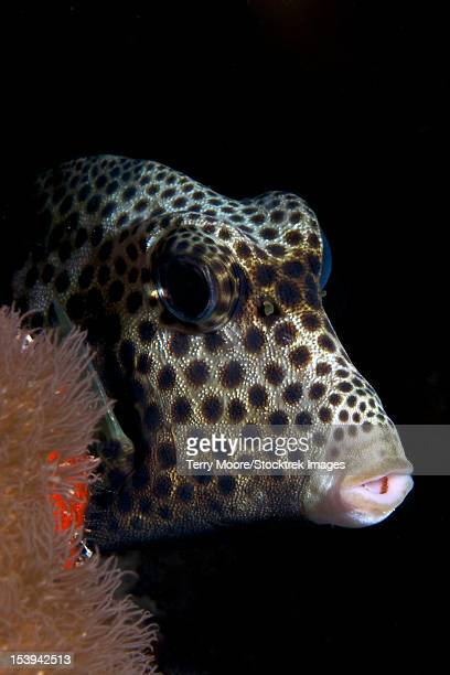 Smooth Trunkfish playing hide and seek, Bonaire, Caribbean Netherlands.