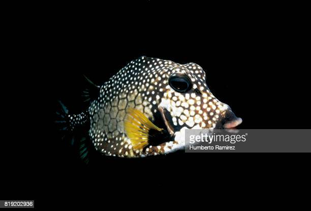 Smoth Trunkfish.