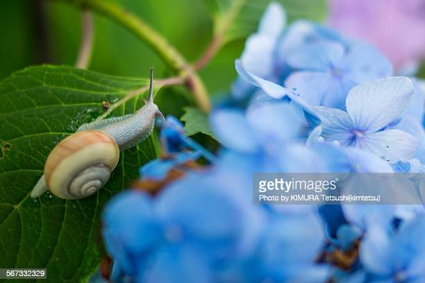 Snail and Japanese Hydrangea Flower