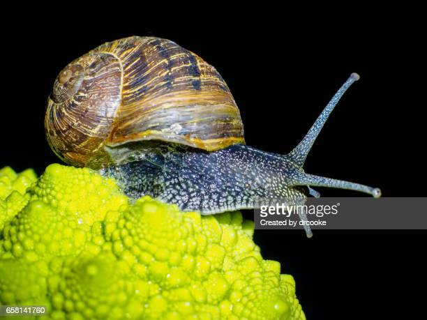 Snail and Romanesco