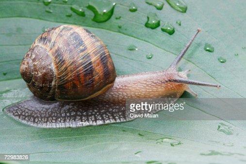 snail crawling on leaf, close up,