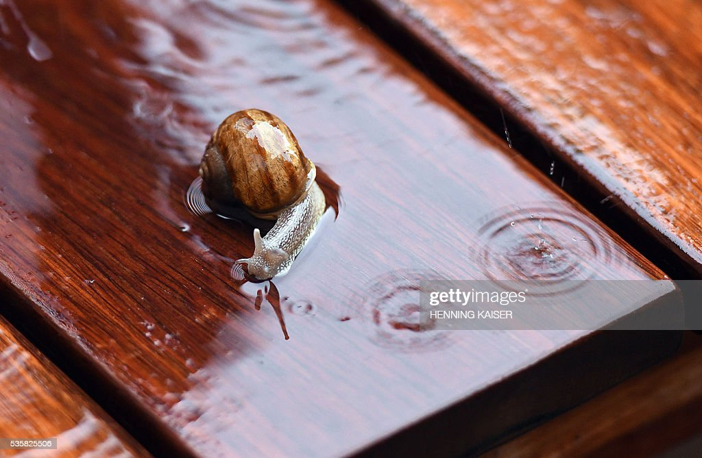 A snail crawls through a rain shower over a garden bench in Cologne, western Germany, on May 30, 2016. / AFP / dpa / Henning Kaiser / Germany OUT