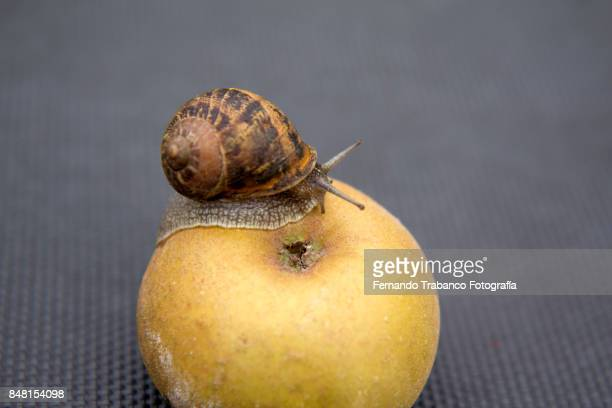 snail eats a fruit