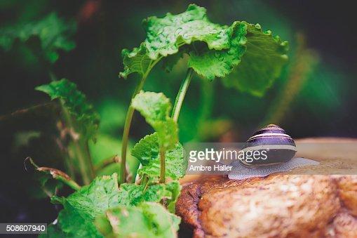 Snail in the rain : Stock Photo