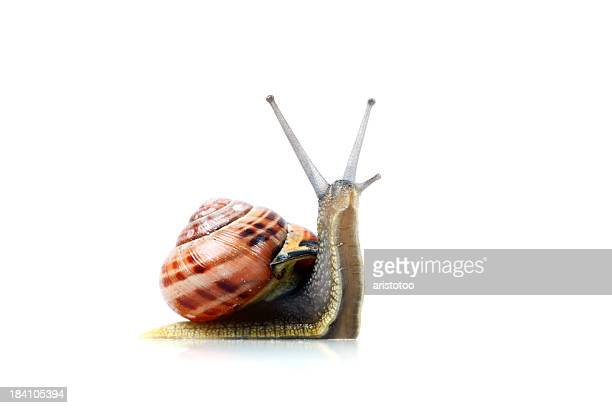 Snail, Isolated on White