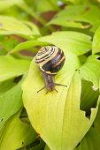 Snail on damaged hosta leaves