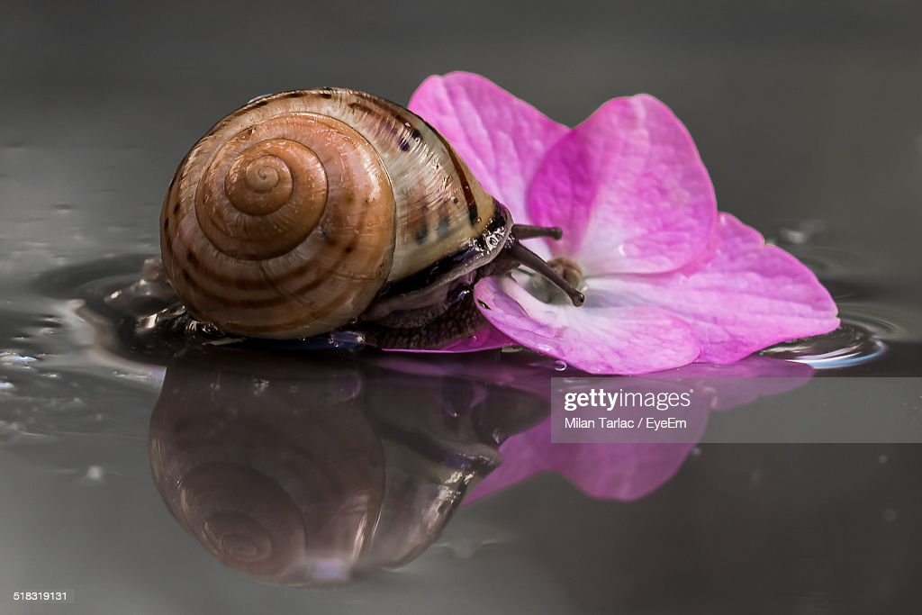 Snail On Flower Floating On Water