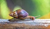 Own garden snail is crawling on a stick foraging slowly showing modest lifestyle slowly but surely of reptile species