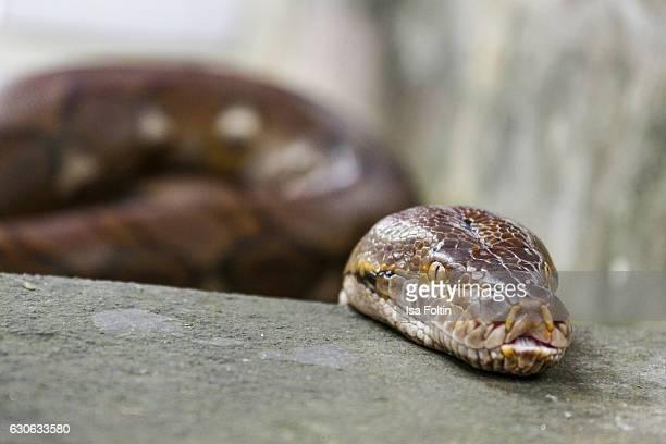 KARANGASEM BALI INDONESIA DECEMBER 23 A snake at the Taman Tirta Gangga Water Palace on December 23 2016 in Karangasem Bali Indonesia