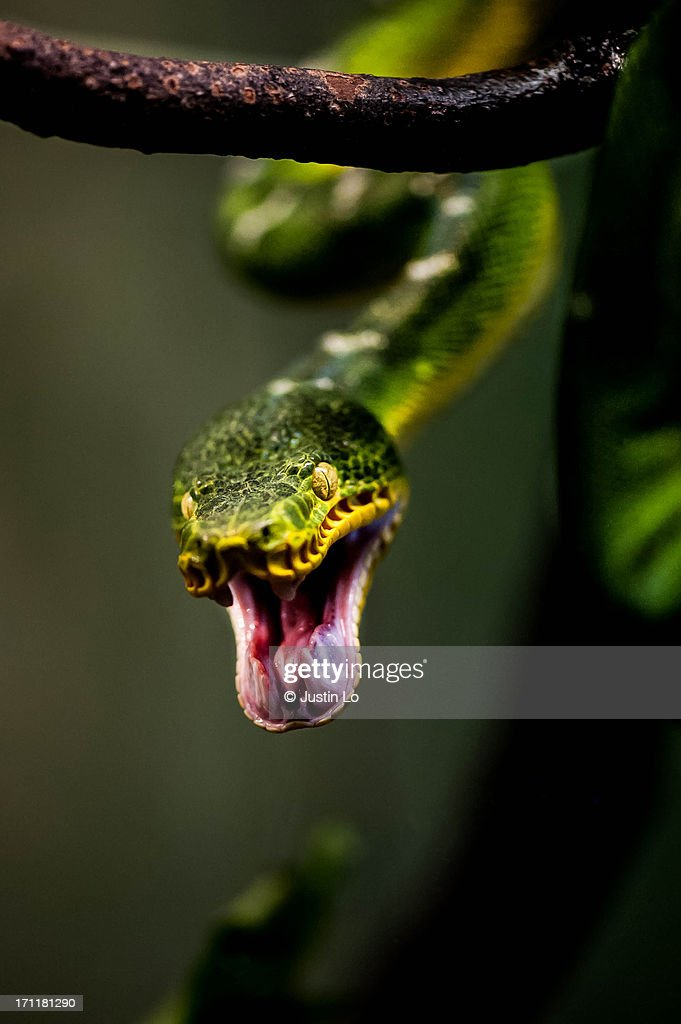 Snake Attack! : Stock Photo
