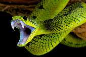 Snakes are perfectly adapted predators. Able to strike with power,speed and in this case venom as well. Pictured is a Great Lakes Bush Viper / Atheris nitschei.