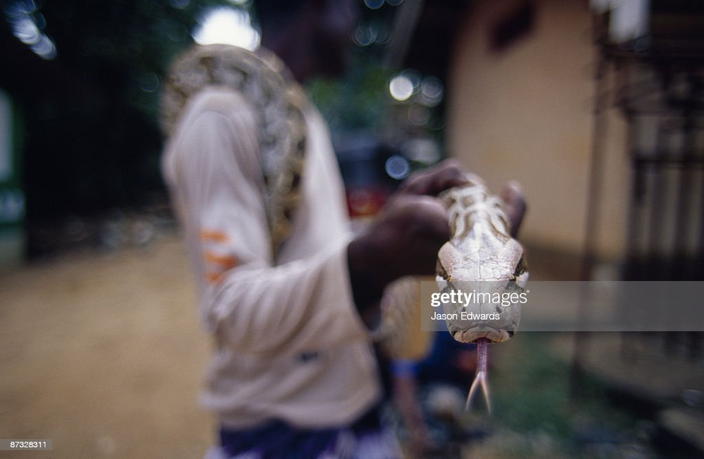 A snake handler holds a Rock Python, Python molurus, for tourists. : Stock Photo