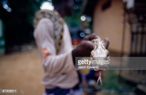 A snake handler holds a Rock Python, Python molurus, for tourists. : Foto stock