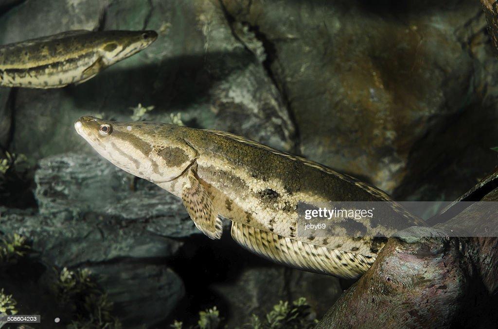 Serpiente de pescado : Foto de stock