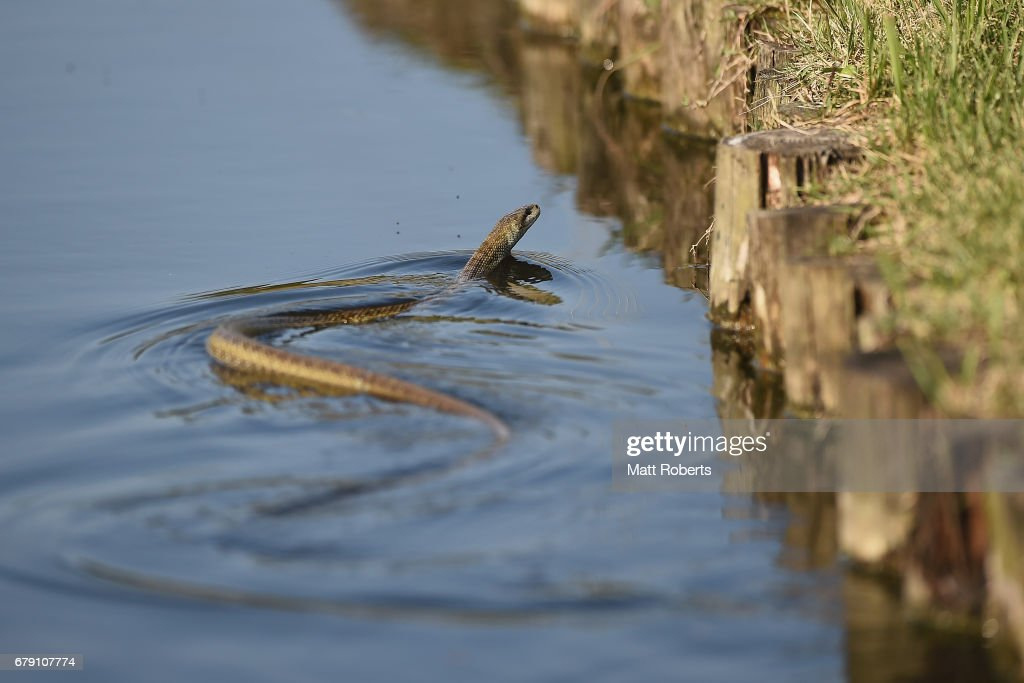 A snake is seen swimming in the lake on the 15th hole during the second round of the World Ladies Championship Salonpas Cup at the Ibaraki Golf Club on May 5, 2017 in Tsukubamirai, Japan.