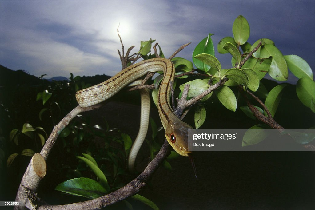 Snake slithers through the tree branches. : Stock Photo