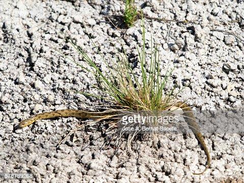 Snake viperina or water snake (Natrix maura), Spain