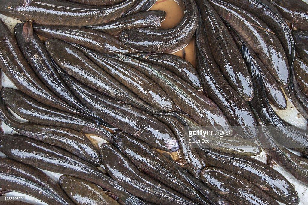 Snakefish, Cambodia : Stock Photo