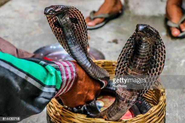 Snakes during the worship of 'Naag' on the occasion of 'Naag Panchami' in Jaipur Rajasthan India on 14th July2017
