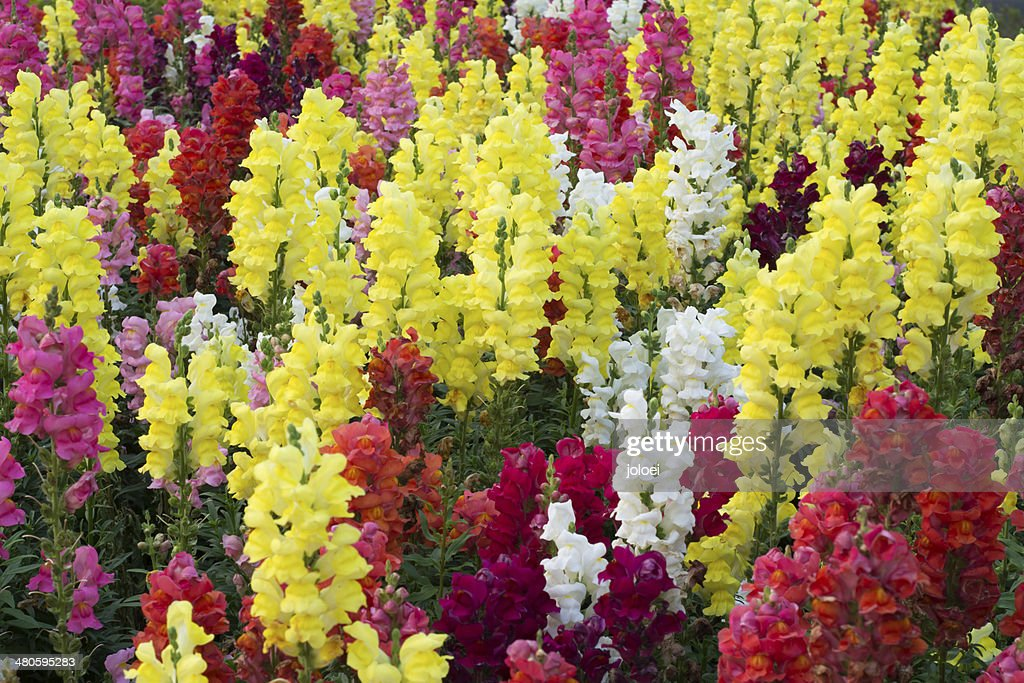 Snap dragon (Antirrhinum majus) : Stock Photo