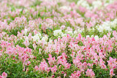 Snapdragon with Pink and White Flowers
