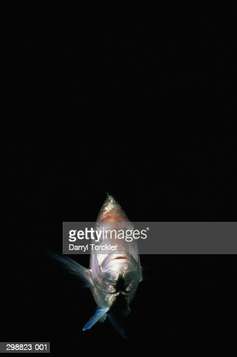 Snapper fish (Lutjanus sp.), Pacific Ocean, New Zealand