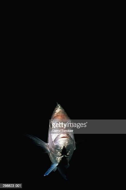 Snapper fish (Lutjanus sp.), Pacific Ocean, New Zealand