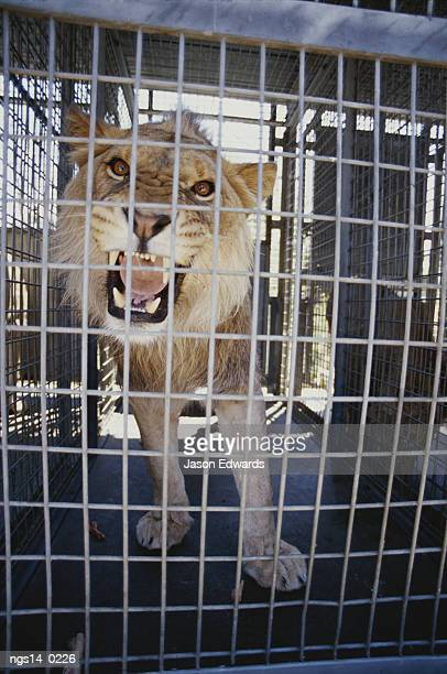 Snarling African lion in cage.