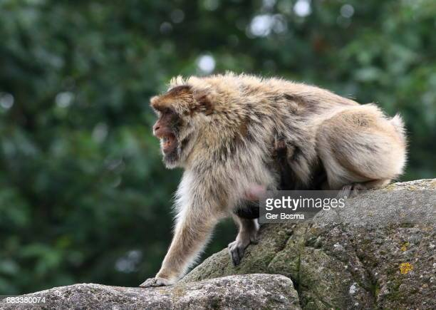Snarling Barbary Macaque (Macaca sylvanus)