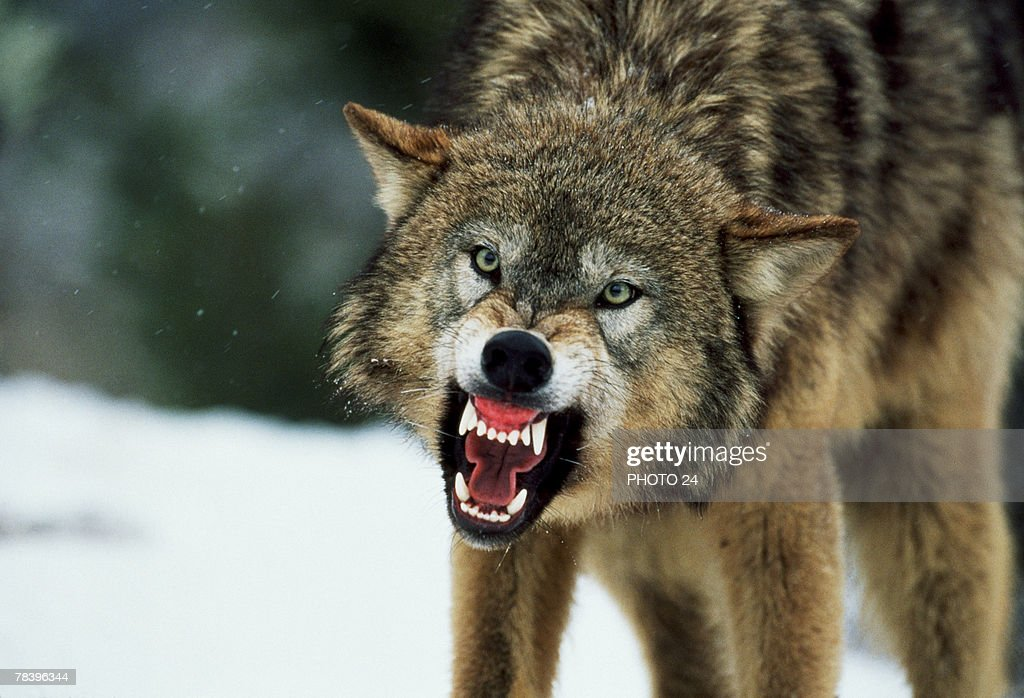Snarling gray wolf : Stock Photo
