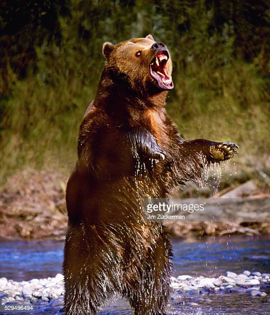 Snarling Grizzly Bear Standing in Stream