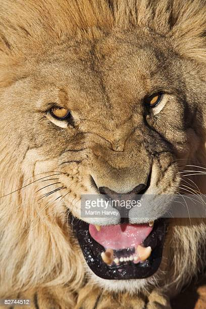 Snarling male lion.