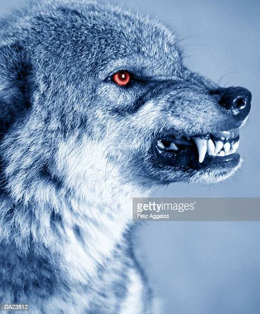 Snarling wolf (Canis Lupus), profile (Digital Enhancement)