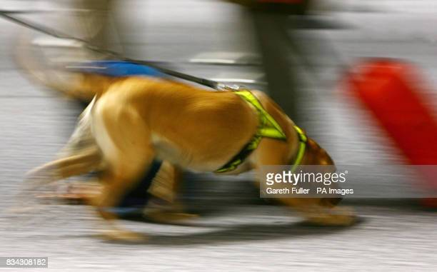 A sniffer dog searches passengers in passport control during the official launch of the UK Border Agency at Gatwick Airport in West Sussex