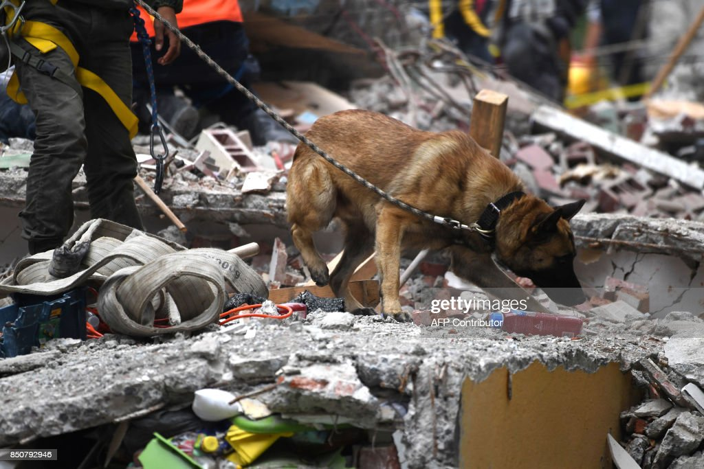 A sniffer dog takes part in the search for survivors in Mexico City on September 21, 2017 two days after a strong quake hit central Mexico. A powerful 7.1 earthquake shook Mexico City on Tuesday, causing panic among the megalopolis' 20 million inhabitants on the 32nd anniversary of a devastating 1985 quake. /