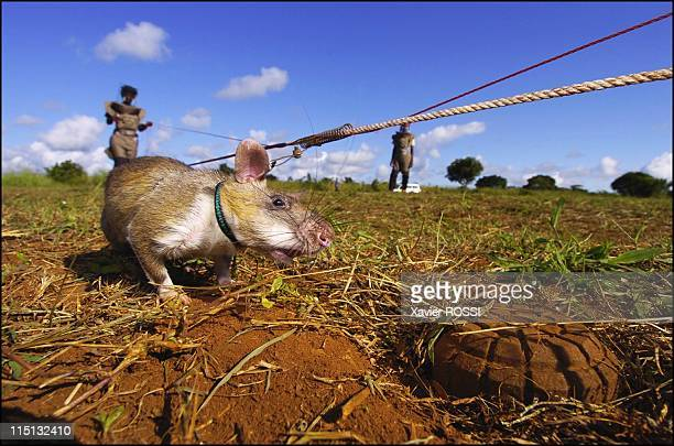 Sniffer rats trained to find landmines in Mozambique on May 03 2004 The rat searches for the landmine using his sense of smell