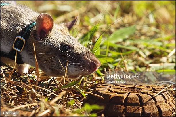 Sniffer rats trained to find landmines in Mozambique on May 03 2004 An exercise for the rat 'rataplan' to pinpoint the location of a landmine