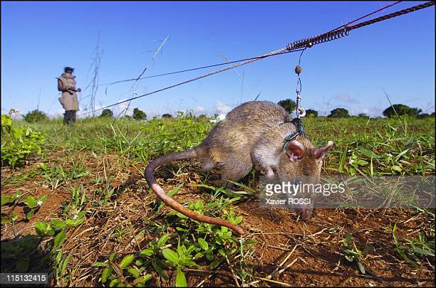 Sniffer rats trained to find landmines in Mozambique on May 03 2004 The rat has pinpointed a landmine